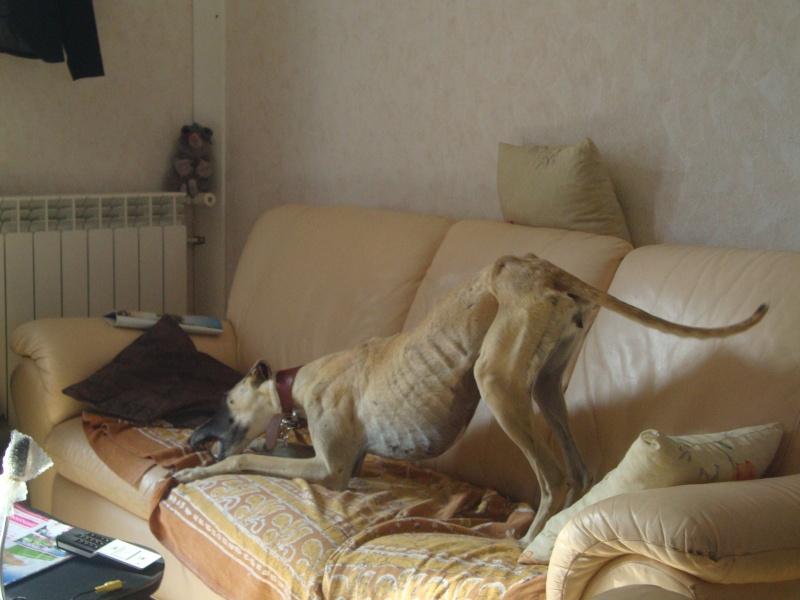 Perla , (squelettique) magnifique galga Scooby France   ADOPTEE  - Page 7 Dsc05243