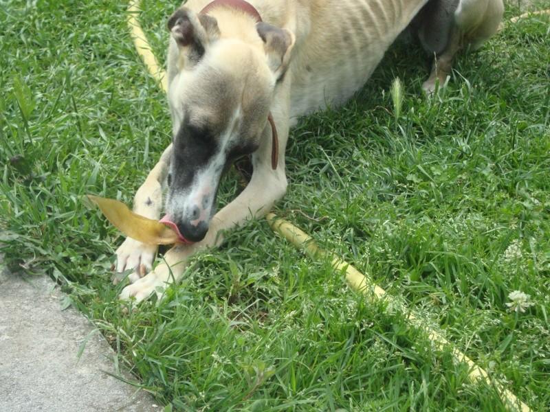 Perla , (squelettique) magnifique galga Scooby France   ADOPTEE  - Page 7 Dsc05310
