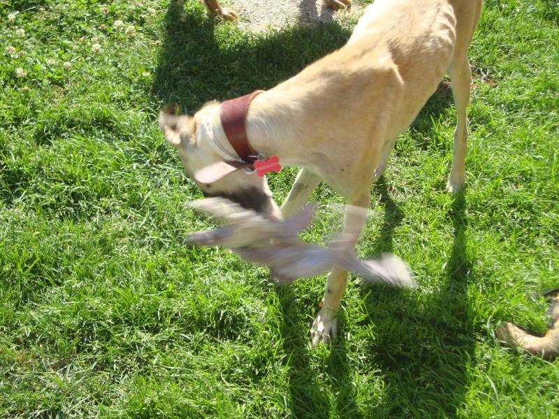 Perla , (squelettique) magnifique galga Scooby France   ADOPTEE  - Page 7 Dsc05313