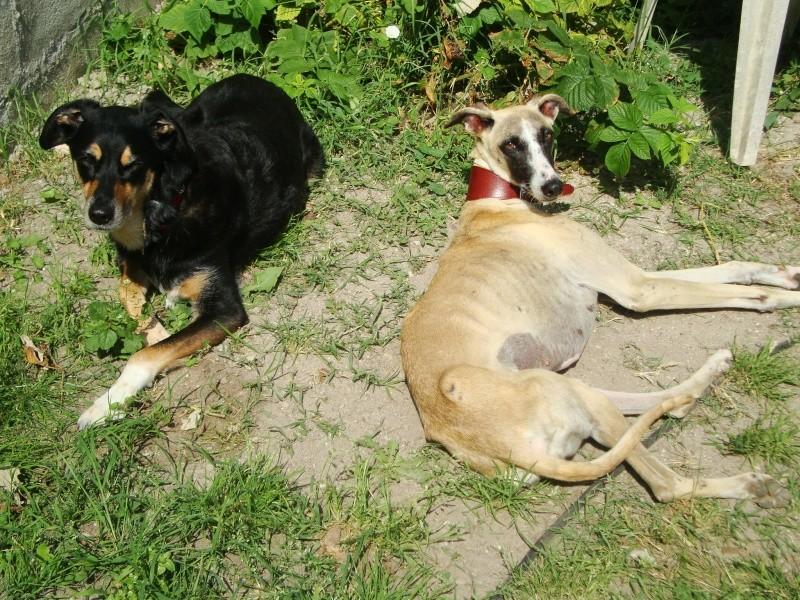 Perla , (squelettique) magnifique galga Scooby France   ADOPTEE  - Page 8 Dsc05324