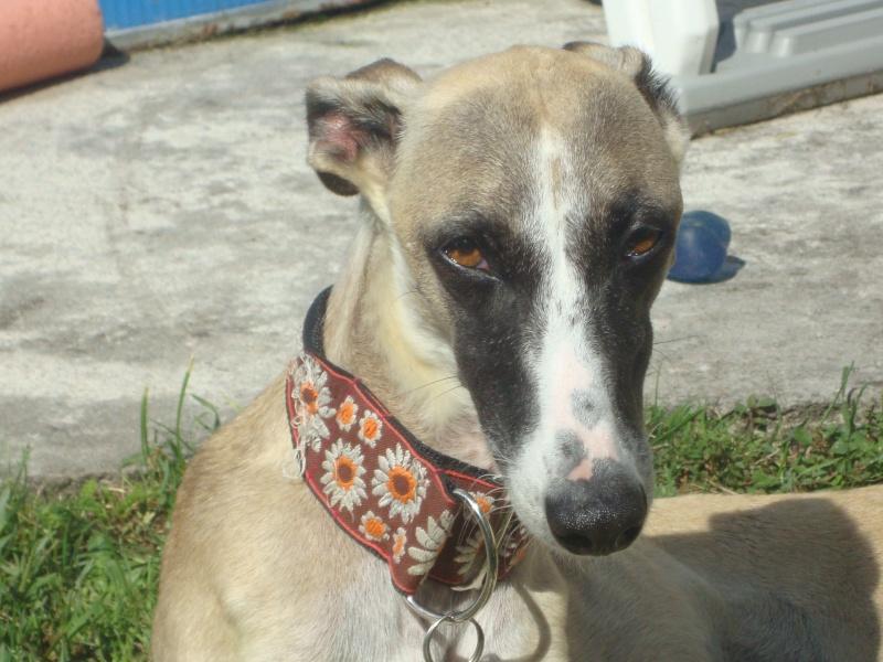 Perla , (squelettique) magnifique galga Scooby France   ADOPTEE  - Page 9 Dsc05413