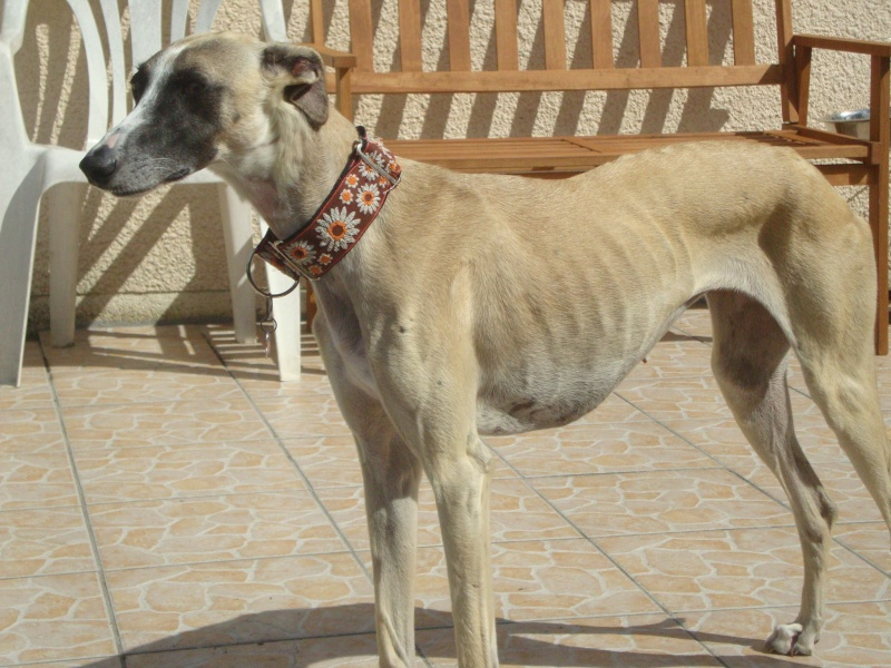 Perla , (squelettique) magnifique galga Scooby France   ADOPTEE  - Page 9 Dsc05414