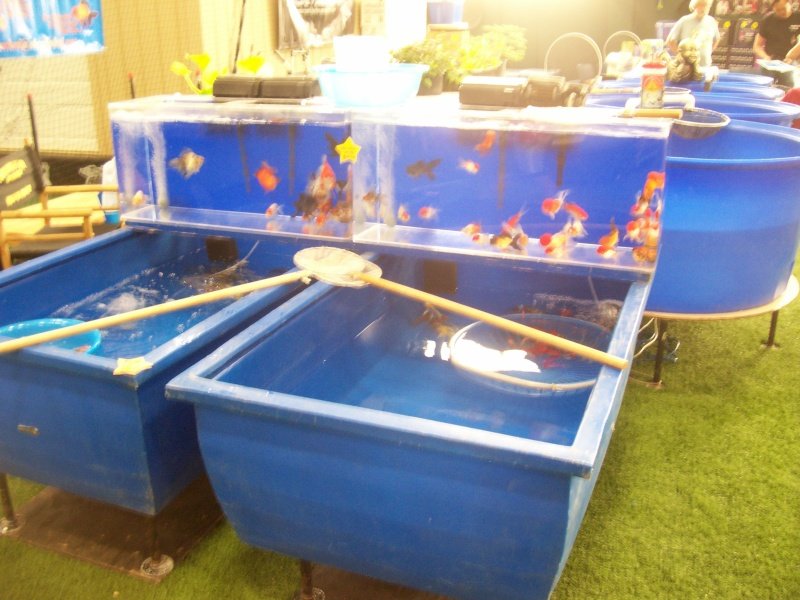 Chicago guppy show and Champaign auction 01411