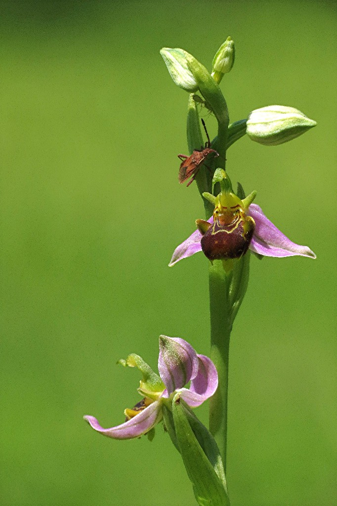 Ophrys abeille Img_3911