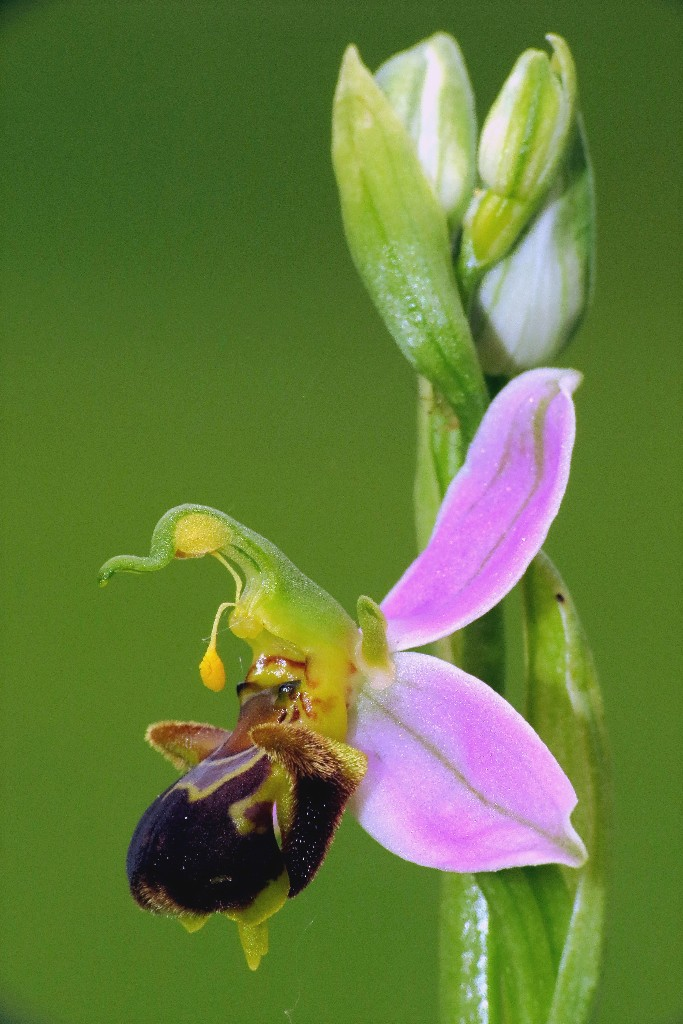 Ophrys abeille Img_3912