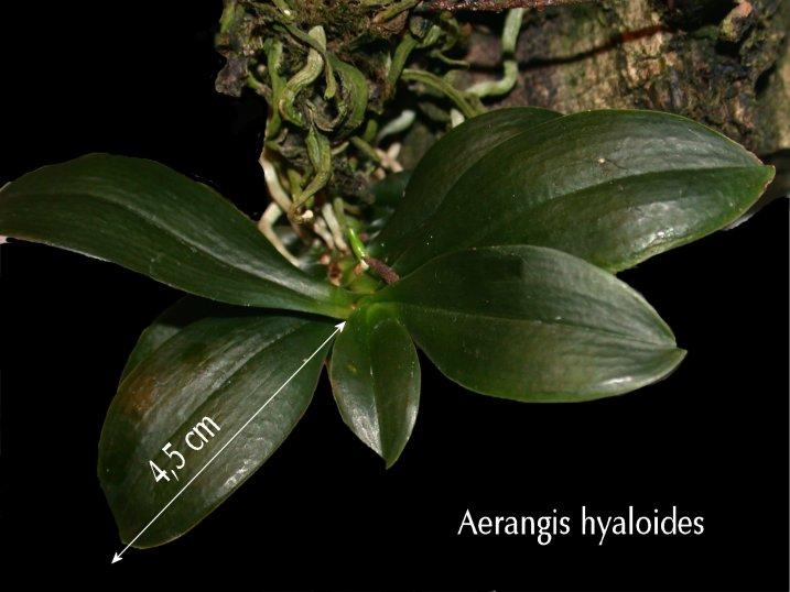 Aerangis hyaloides Aerang12