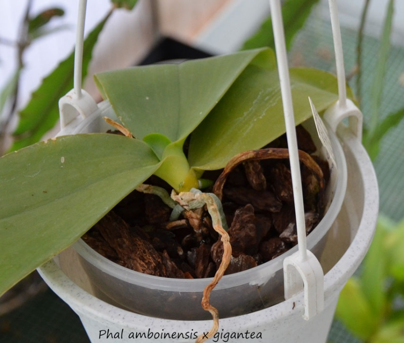 Phalaenopsis amboinensis x gigantea (David Lim) Amboin10