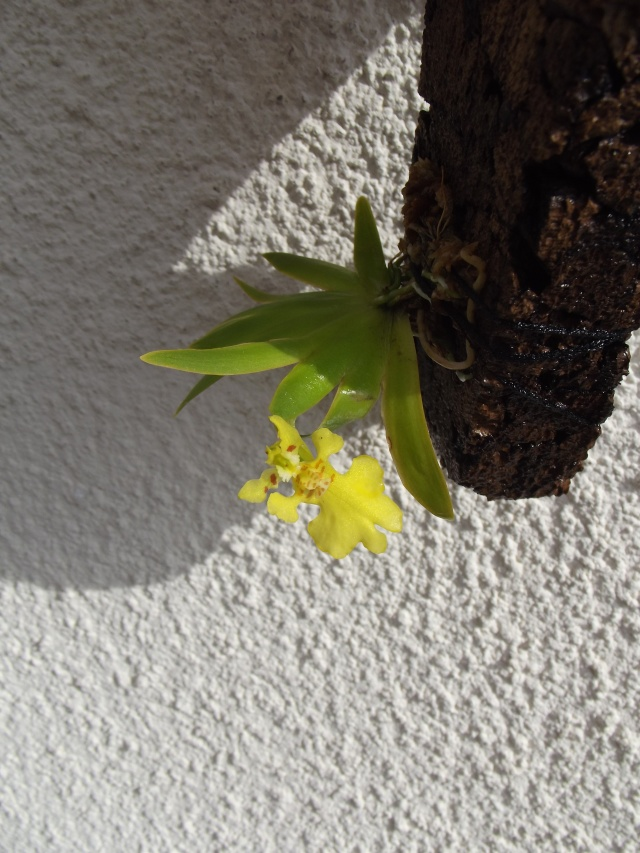 Psygmorchis (Erycina) pusilla 236810