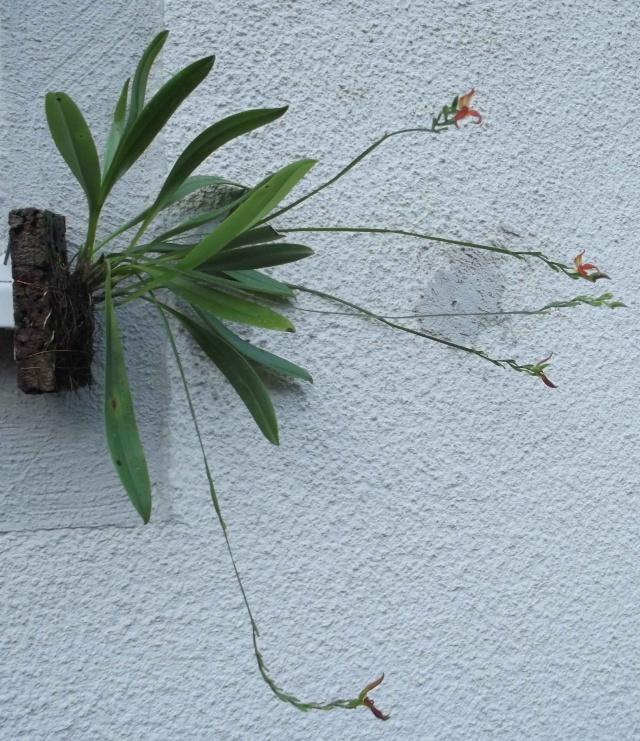 Pleurothallis endotrachys Bulbo210
