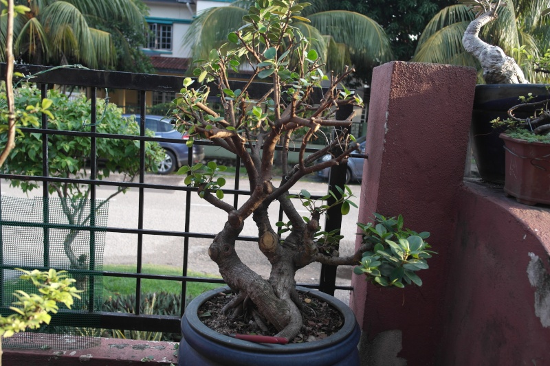 ficus in a large pot Sam_4918