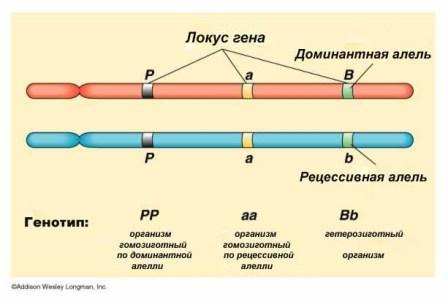 Термины в генетике Alleli10