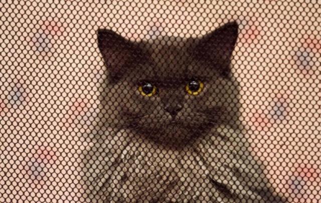 """Международная выставка кошек """"Удивительные кошки"""", 5 октября 2014, г. Сургут, ХМАО - Страница 2 N10"""