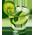 Citronnier Caipir10