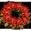 Buisson à poinsettias Christ21