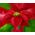 Buisson à poinsettias => Poinsettia Poinse11