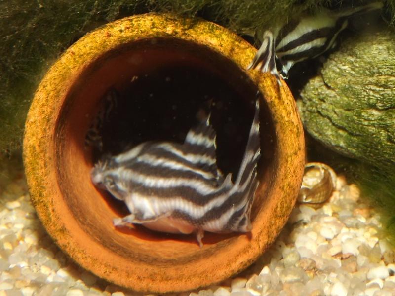 Bac spécifique pour la reproduction d'Hypancistrus zebra - Page 3 Alevin88