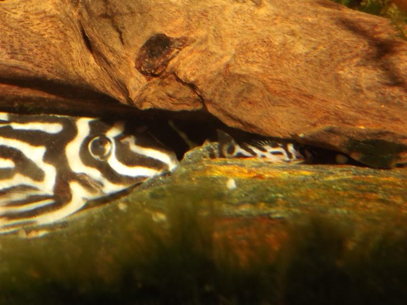 Bac spécifique pour la reproduction d'Hypancistrus zebra - Page 3 Alevin89
