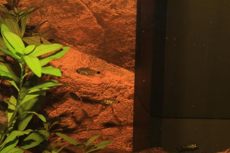 Corydoras hastatus/Hyphessobrycon elachys Img_4012
