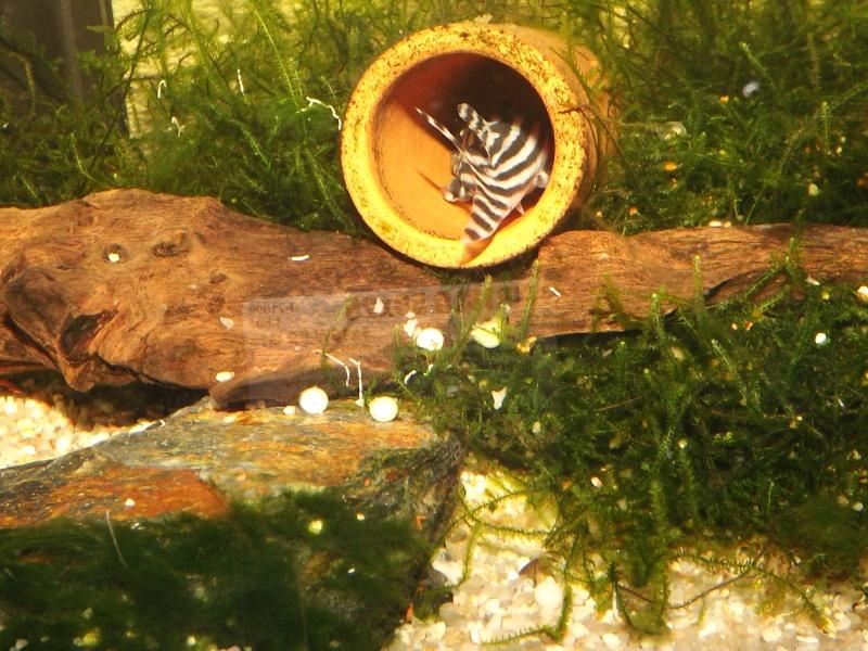 Bac spécifique pour la reproduction d'Hypancistrus zebra - Page 3 Male_a10