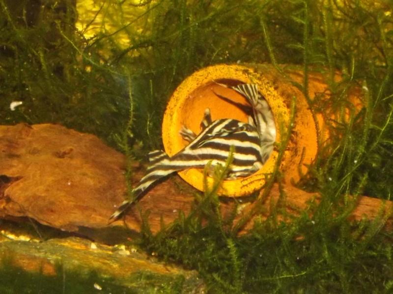 Bac spécifique pour la reproduction d'Hypancistrus zebra - Page 3 Male_e15