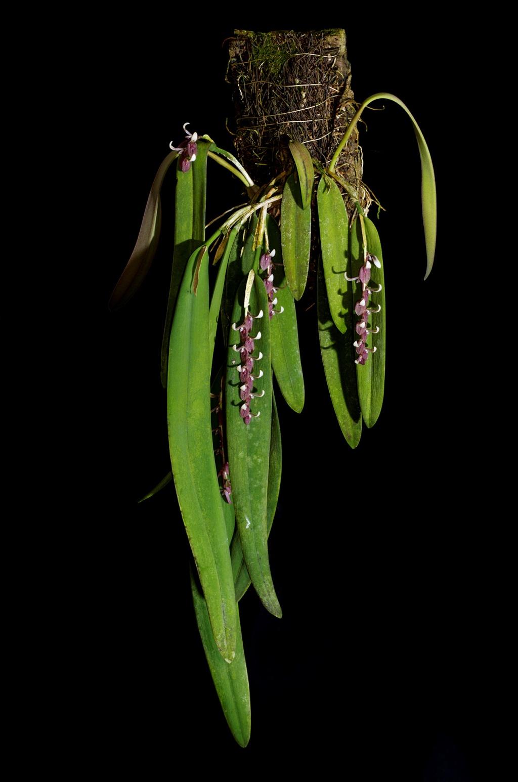 Pleurothallis strupifolia Pleuro10
