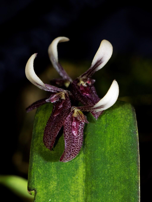 Pleurothallis strupifolia Pleuro11