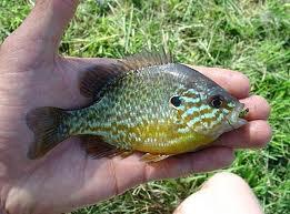 Petit poisson étrange Sans-t10