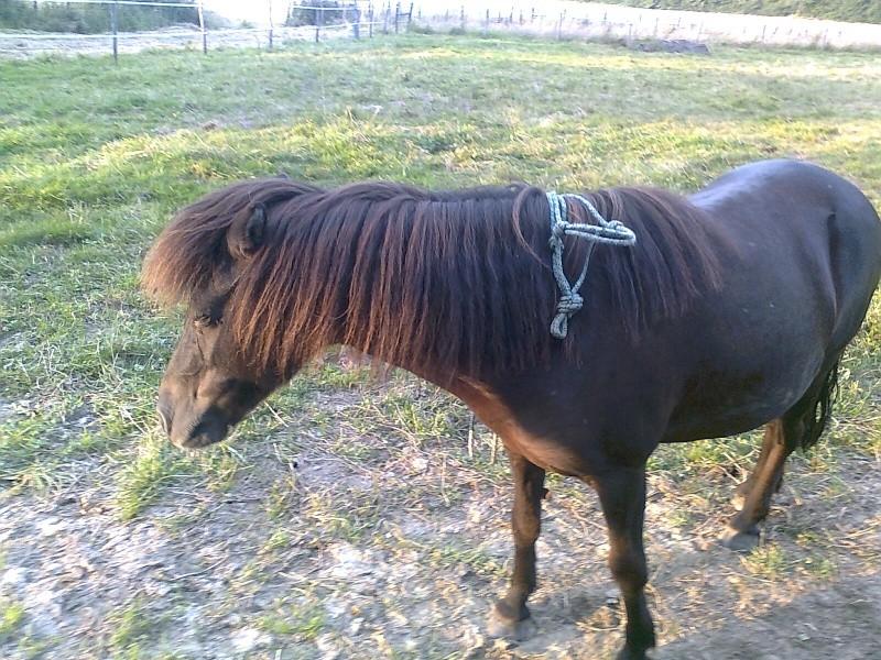 REGLISSE - ONC poney typée Shetland née en 2000 - adoptée en novembre 2013 par Solenn Photo121