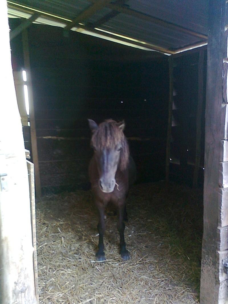 REGLISSE - ONC poney typée Shetland née en 2000 - adoptée en novembre 2013 par Solenn Photo123