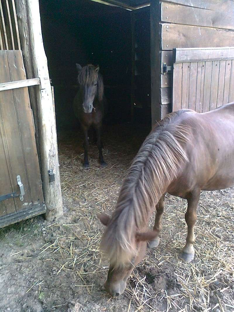 REGLISSE - ONC poney typée Shetland née en 2000 - adoptée en novembre 2013 par Solenn Photo124