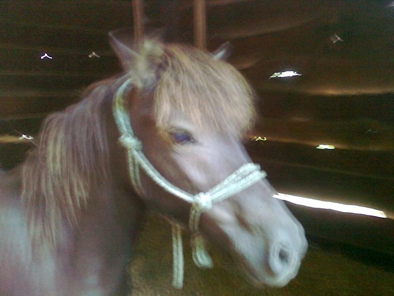 REGLISSE - ONC poney typée Shetland née en 2000 - adoptée en novembre 2013 par Solenn Photo126