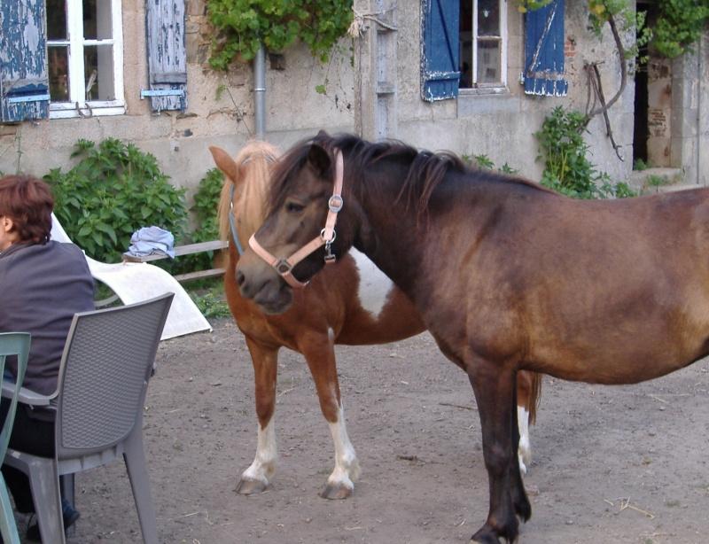 PRUNELLE - ONC poney typée shetland présumée née en 2000 - adoptée en août 2013 par Céline Prunel11