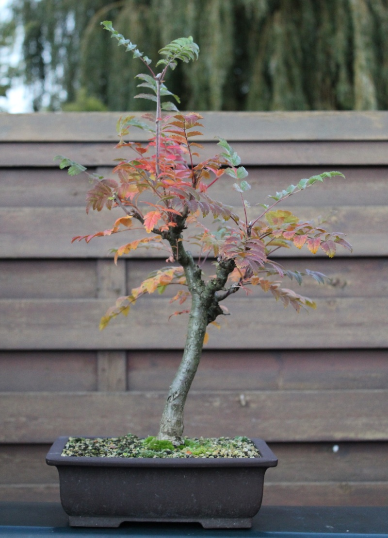 Rarely seen in bonsai: Sorbus Aucuparia 2012-110