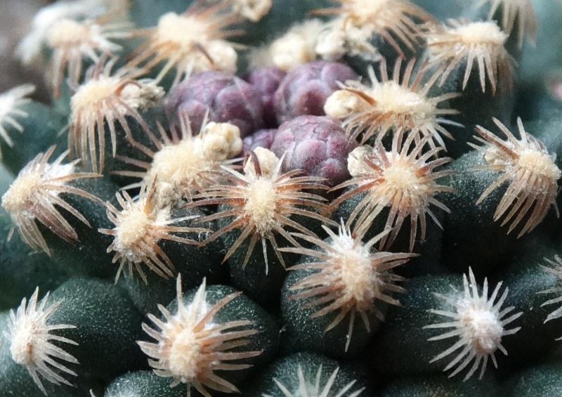 Pediocactus knowltonii Dsc00417