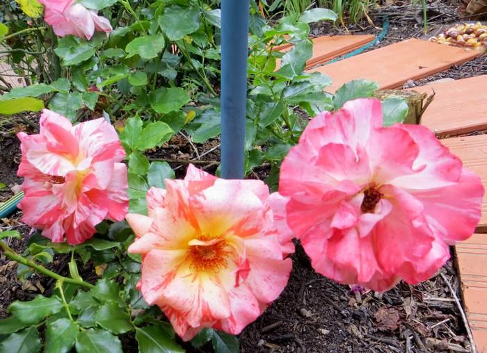Rosa 'Alfred Sisley' A_sisl10