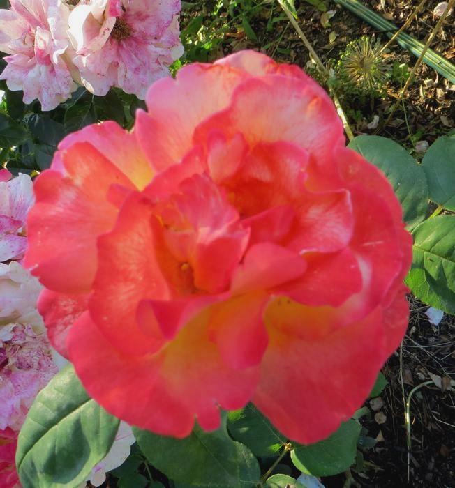 rosier émeraude d'or Amerau10