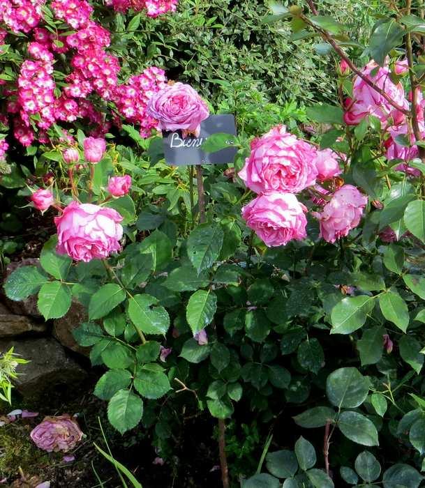 rosa bienvenue - Page 3 Bienve11