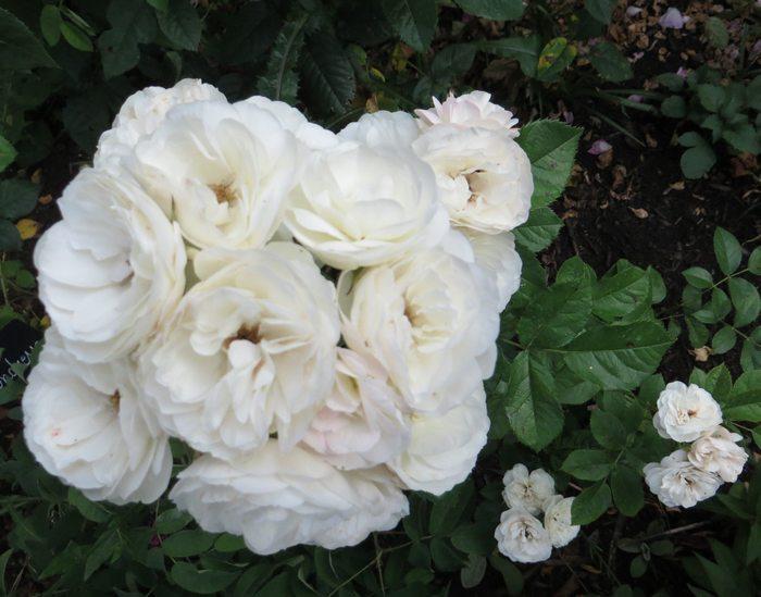 Rosa 'Bouquet Parfait' !!! - Page 6 Bouque11