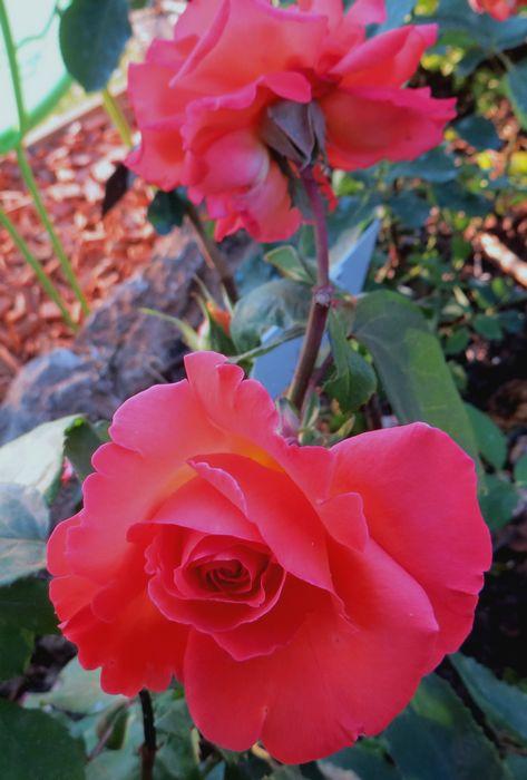 rosae Christophe Colomb Christ10