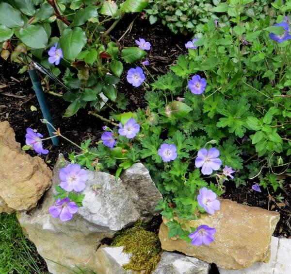 geranium vivace - Page 6 Img_2116