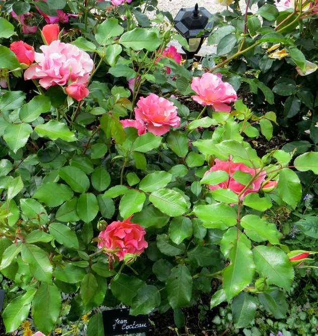 Rosa 'Jean Cocteau' - Page 2 Img_2157