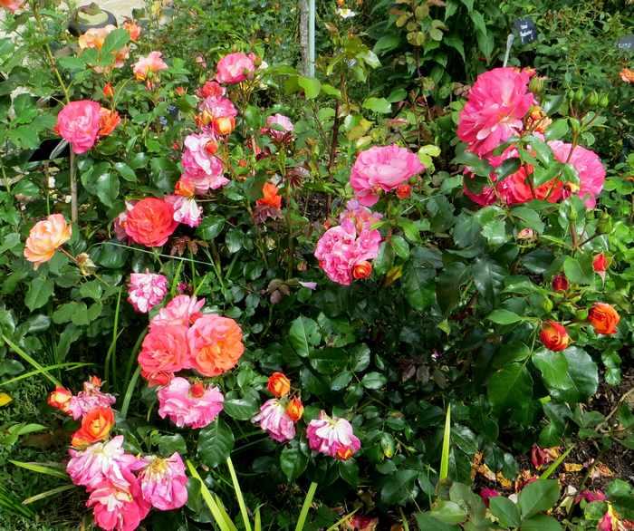 rosier joli tambour Img_2158