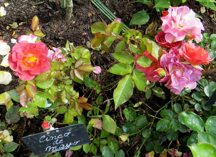 rosa cinco de mayo Img_2212