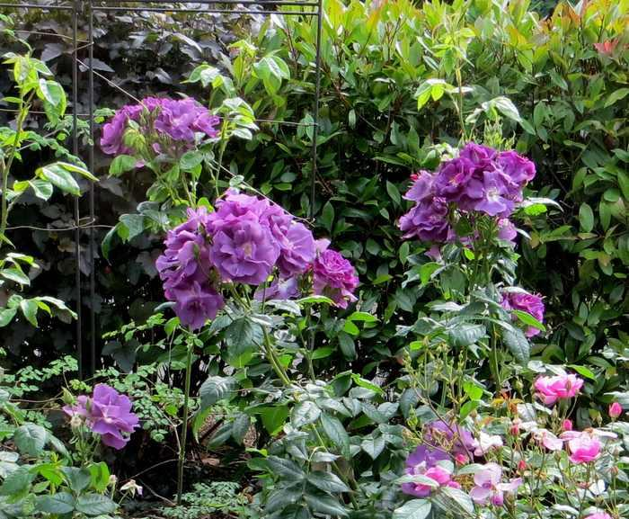 Rosa 'Rhapsodie in blue' !!! - Page 2 Img_2218