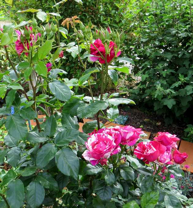 rosier Guy Savoie Img_2222