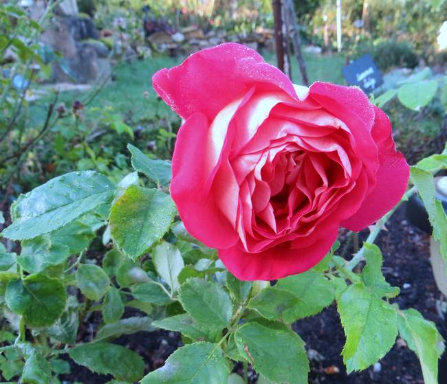 rosier gipsy Img_2715