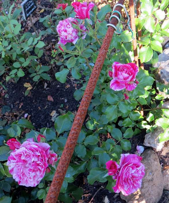 rosier grimpant Inès Sastre Inas_s11