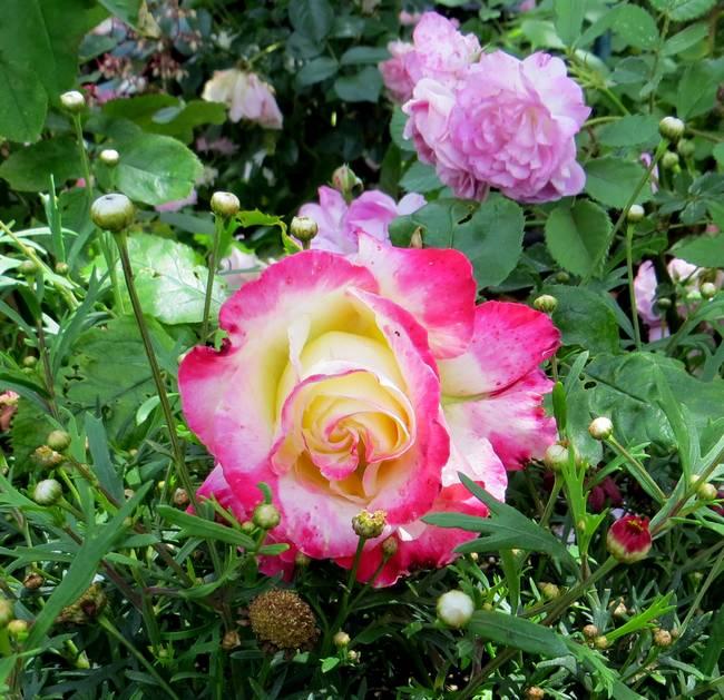 Rosa 'Jubile du Prince de Monaco' Jubila11