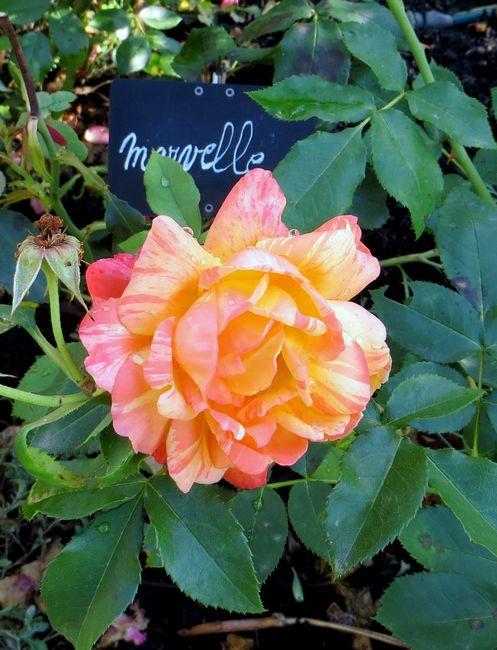rosier Marvelle Marvel12