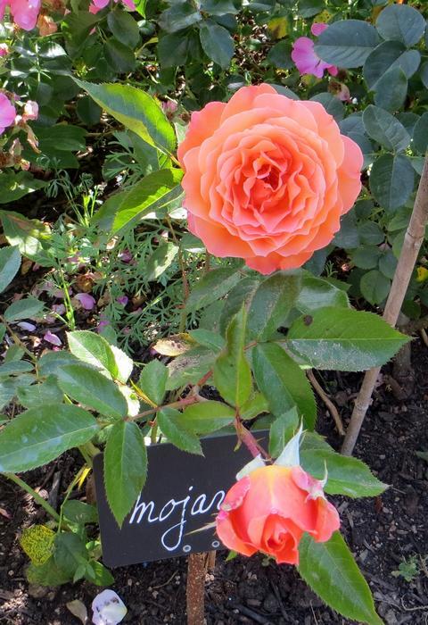 rosier Mojave Mojave11